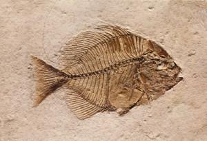 Forstenet fisk - til stenalderkost